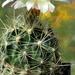 DSC05634Thelocactus sp.