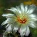 DSC05635Thelocactus setispinus var. setaceus