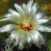 DSC05637Thelocactus sp.