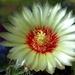 DSC05640Hamatocactus setispinus