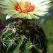 DSC05641Hamatocactus setispinus
