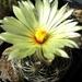 DSC05651Coryphantha palmeri v. pectinata Rio Pecos
