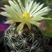 DSC05652Coryphantha palmeri v. pectinata Rio Pecos