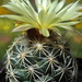 DSC05654Coryphantha palmeri v. pectinata Rio Pecos