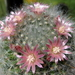 DSC05837Mammillaria bocasana v. roseiflora