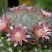 DSC05838Mammillaria bocasana v. roseiflora