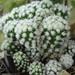 DSC05850Mammillaria gracilis cv Arizona Snow Cap
