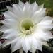 DSC05892Echinopsis