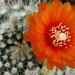 DSC05898Parodia malyana v. rubriflora