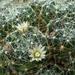 DSC05905Mammillaria crinita ssp. wildii