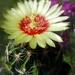 DSC05947Hamatocactus setispinus