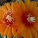 DSC05955Parodia malyana v. rubriflora
