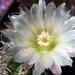DSC05960Pyrrhocactus hankeanus