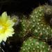 DSC05963Frailea chrysacantha