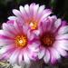 DSC05964Turbinicarpus roseiflorus