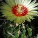 DSC05970Hamatocactus setispinus