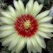 DSC06040Hamatocactus setispinus