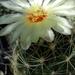 DSC06058Thelocactus setispinus var. setaceus