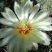 DSC06075Thelocactus setispinus var. setaceus