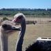 struisvogels vrouwtje en mannetje