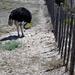 struisvogel mannetje gaat broeden