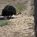 struisvogel gaat op de eieren zitten