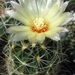 DSC06148Thelocactus setispinus var. setaceus
