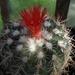 DSC06282Parodia stuemeri ssp. tilcarensis