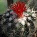 DSC06284Parodia stuemeri ssp. tilcarensis