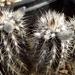 DSC06285Setiechinopsis mirabilis