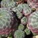 DSC06299Sulcorebutia rauschii