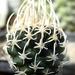 DSC06303Pediocactus (Navajoa) peeblesianus ssp. fickeisenii SB469