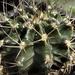 Gymnocalycium griseo-pallidum