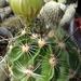 DSC06309Hamatocactus setispinus
