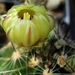 DSC06310Hamatocactus setispinus