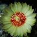 DSC06330Hamatocactus setispinus