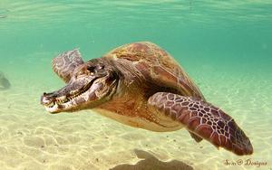 krokoschildpad