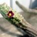 Echidnopsis cereiformis var. brunnea