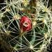 DSC06368Thelocactus setispinus var. setaceus
