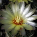 DSC06399Thelocactus setispinus var. setaceus
