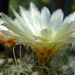 DSC06400Thelocactus setispinus var. setaceus