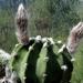 DSC06404Echinopsis subdenudata
