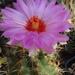 DSC06468Thelocactus bicolor