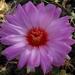 DSC06469Thelocactus bicolor