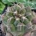 DSC06520Thelocactus conothelos ssp. flavus HK 362