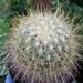 DSC06521Thelocactus macdowellii