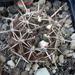 DSC06526Neochilenia neohankeana v. flaviflora
