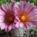 DSC06561Turbinicarpus roseiflorus