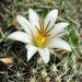 DSC06584Mammillaria hutchisoniana ssp. louisae