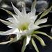 DSC06595Echinopsis obrepanda